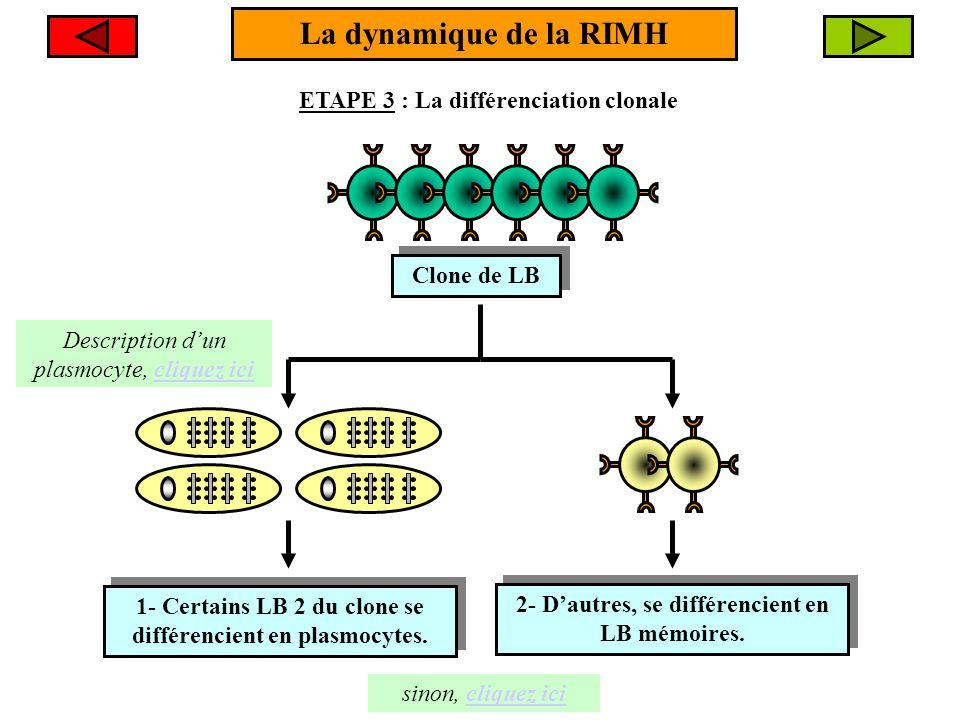 La dynamique de la RIMH ETAPE 3 : La différenciation clonale Clone de LB Clone de LB 1- Certains LB 2 du clone se différencient en plasmocytes. 1- Cer