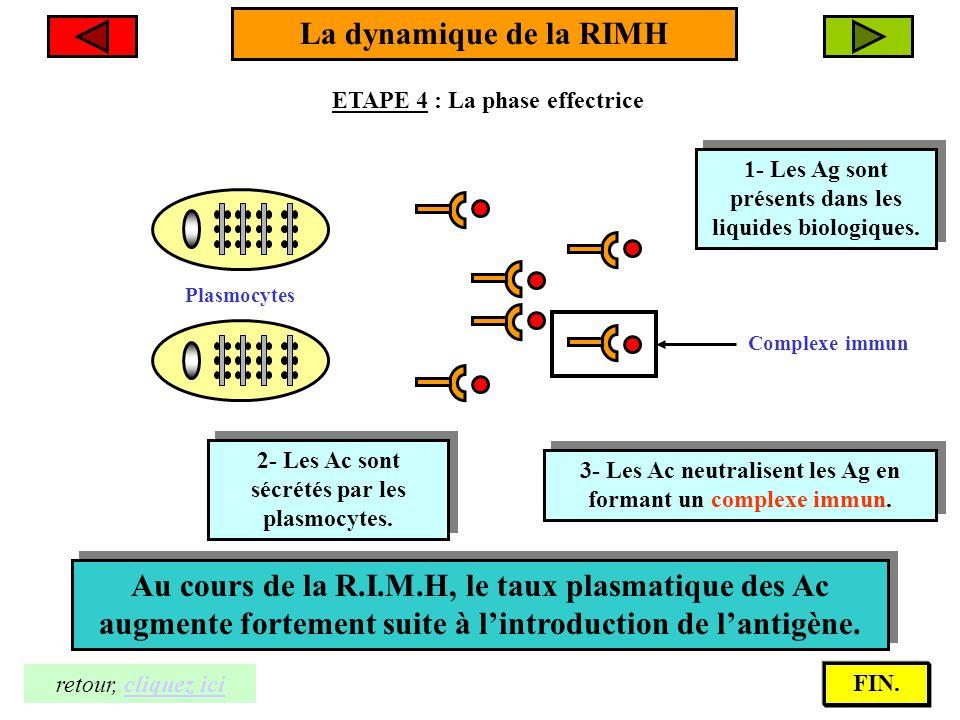 La dynamique de la RIMH ETAPE 4 : La phase effectrice 2- Les Ac sont sécrétés par les plasmocytes. 2- Les Ac sont sécrétés par les plasmocytes. Plasmo