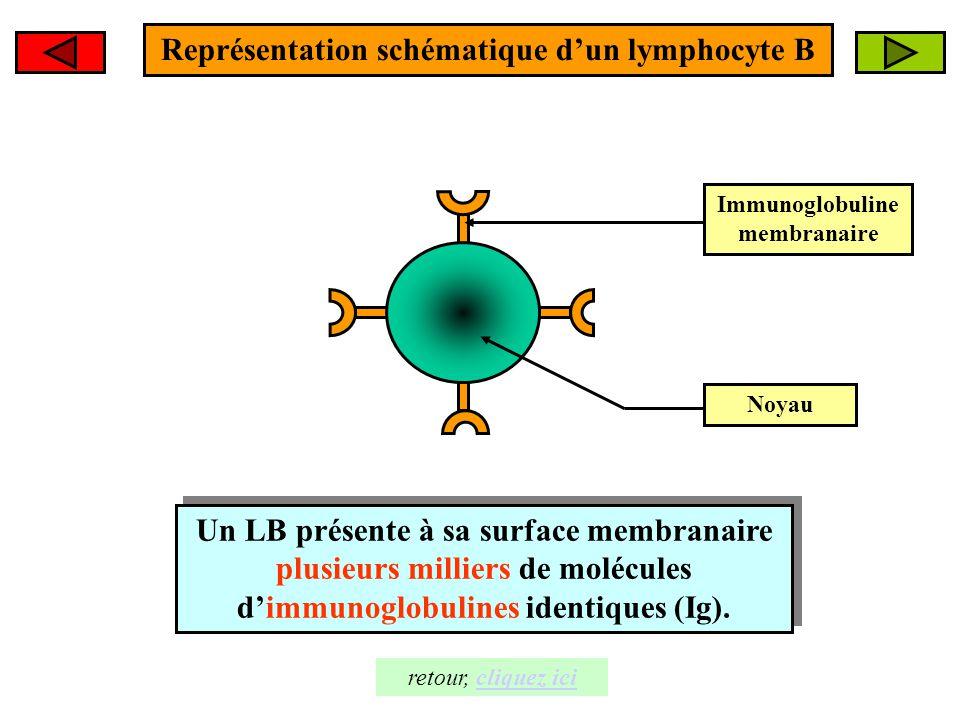 Représentation schématique d'un lymphocyte B Immunoglobuline membranaire Noyau Un LB présente à sa surface membranaire plusieurs milliers de molécules