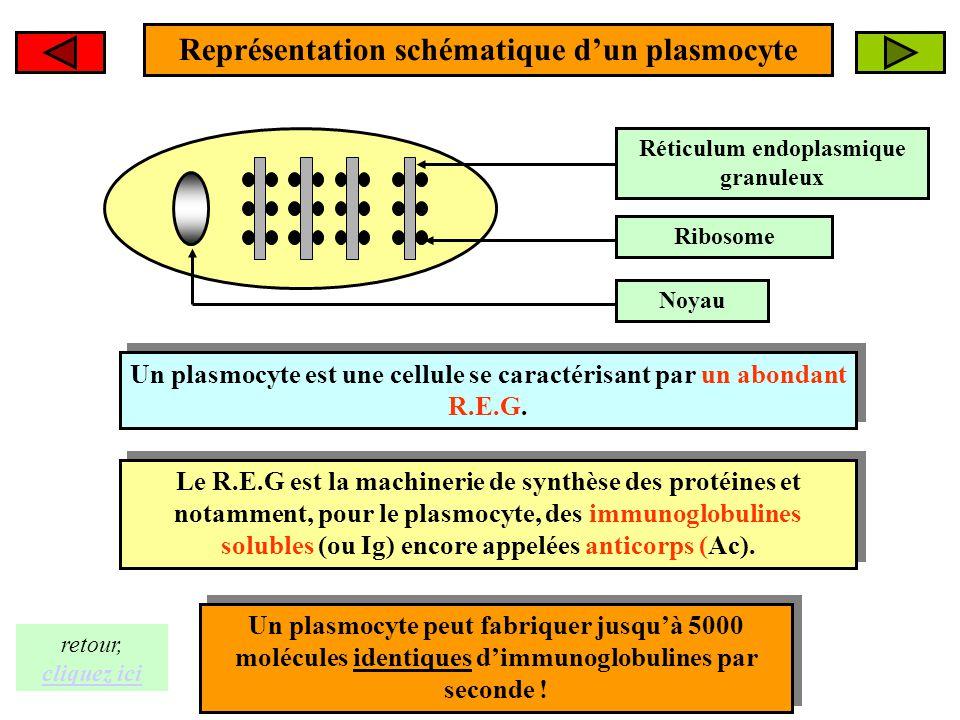 Représentation schématique d'un plasmocyte Réticulum endoplasmique granuleux Ribosome Noyau Un plasmocyte est une cellule se caractérisant par un abon