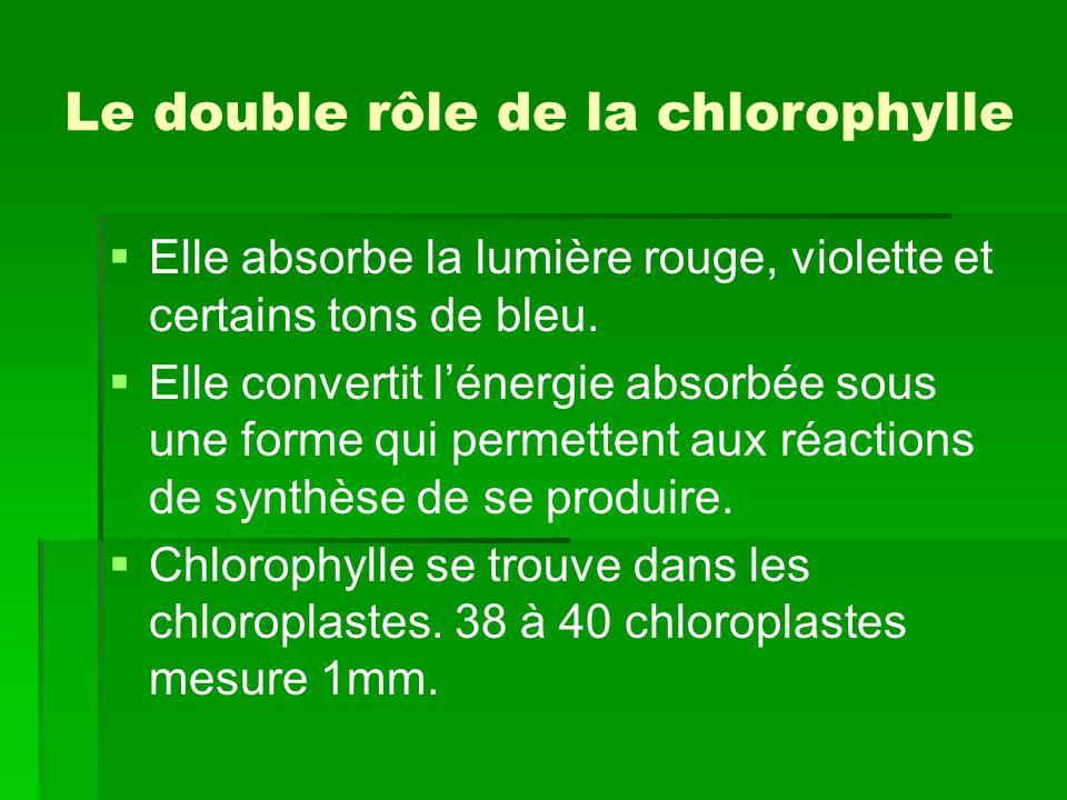 Le double rôle de la chlorophylle   Elle absorbe la lumière rouge, violette et certains tons de bleu.   Elle convertit l'énergie absorbée sous une