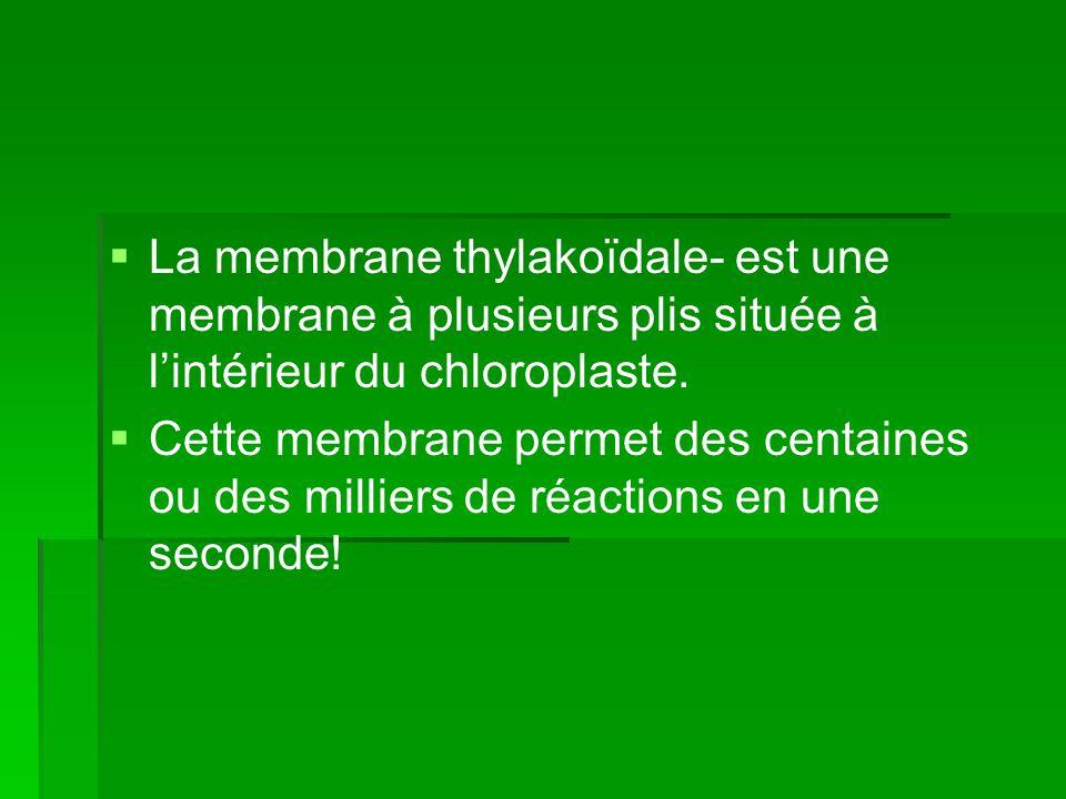   La membrane thylakoïdale- est une membrane à plusieurs plis située à l'intérieur du chloroplaste.   Cette membrane permet des centaines ou des m
