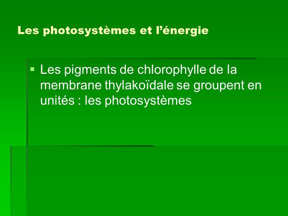 Les photosystèmes et l'énergie   Les pigments de chlorophylle de la membrane thylakoïdale se groupent en unités : les photosystèmes