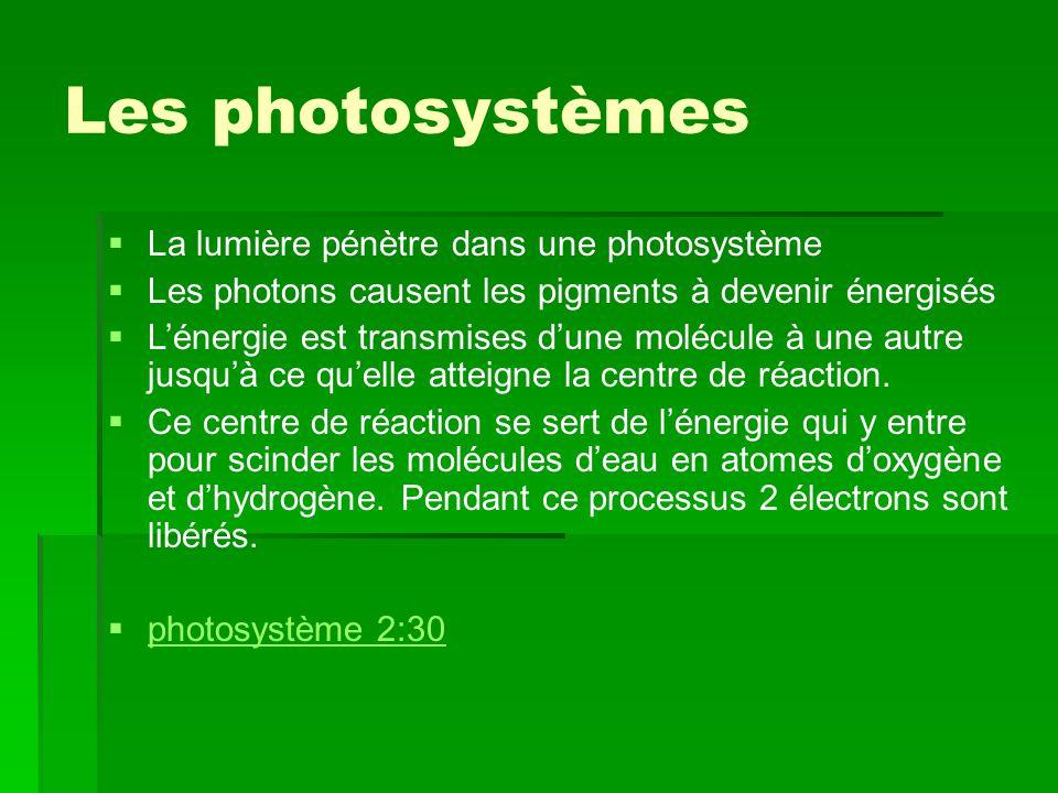 Les photosystèmes   La lumière pénètre dans une photosystème   Les photons causent les pigments à devenir énergisés   L'énergie est transmises d