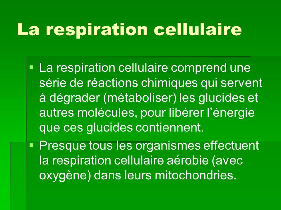 La respiration cellulaire   La respiration cellulaire comprend une série de réactions chimiques qui servent à dégrader (métaboliser) les glucides et
