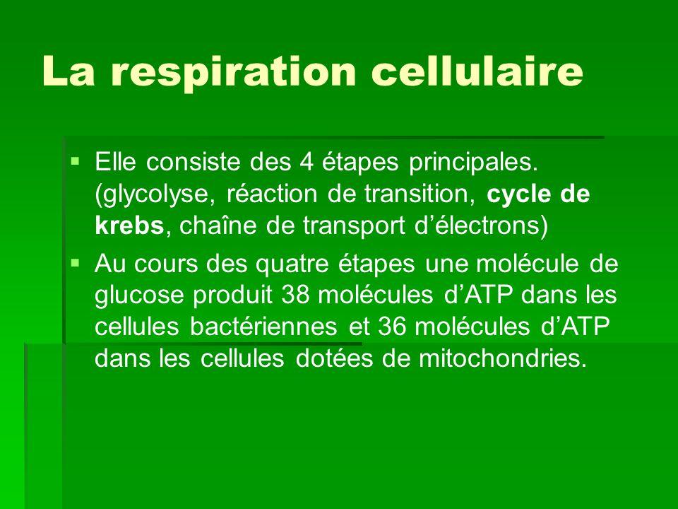 La respiration cellulaire   Elle consiste des 4 étapes principales. (glycolyse, réaction de transition, cycle de krebs, chaîne de transport d'électr