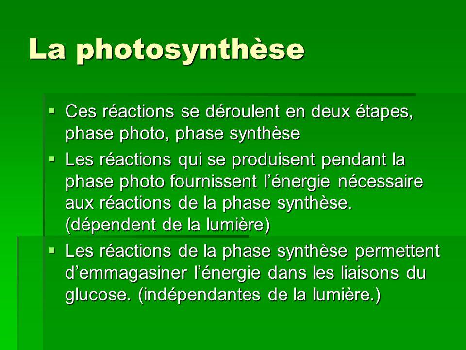 La photosynthèse  Ces réactions se déroulent en deux étapes, phase photo, phase synthèse  Les réactions qui se produisent pendant la phase photo fou