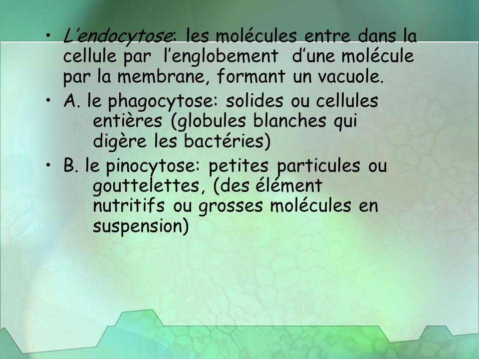 L'endocytose: les molécules entre dans la cellule par l'englobement d'une molécule par la membrane, formant un vacuole. A. le phagocytose: solides ou
