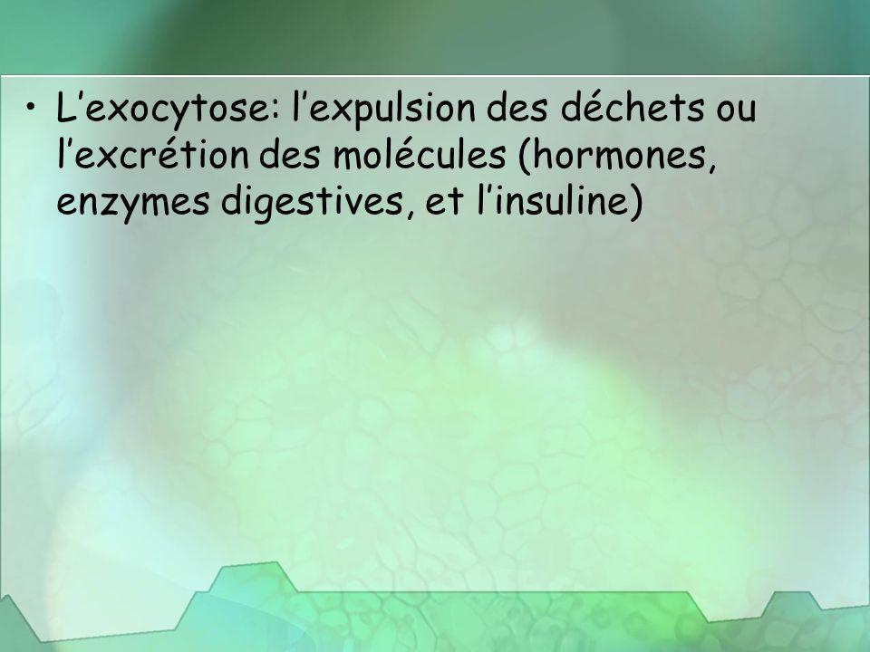 L'exocytose: l'expulsion des déchets ou l'excrétion des molécules (hormones, enzymes digestives, et l'insuline)
