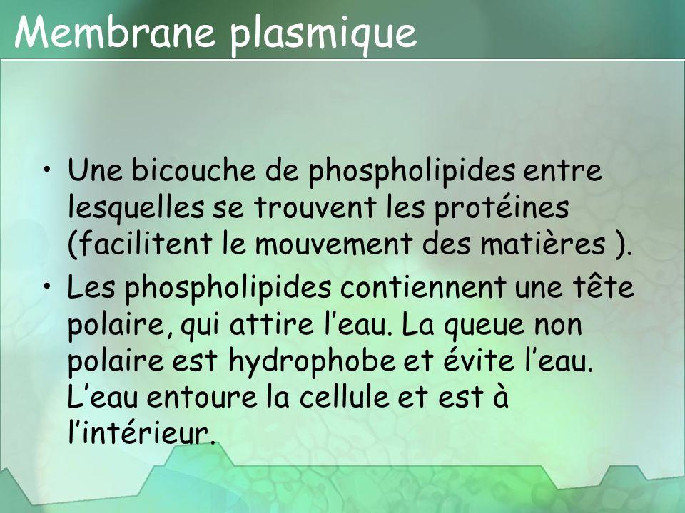 Membrane plasmique Une bicouche de phospholipides entre lesquelles se trouvent les protéines (facilitent le mouvement des matières ). Les phospholipid