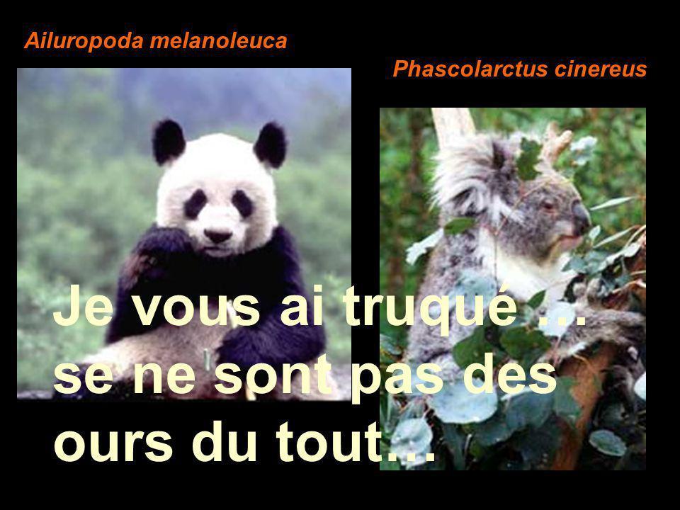 Je vous ai truqué … se ne sont pas des ours du tout… Ailuropoda melanoleuca Phascolarctus cinereus