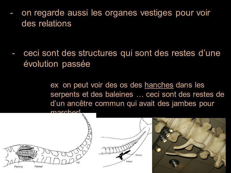 -on regarde aussi les organes vestiges pour voir des relations -ceci sont des structures qui sont des restes d'une évolution passée ex on peut voir des os des hanches dans les serpents et des baleines … ceci sont des restes de d'un ancêtre commun qui avait des jambes pour marcher!