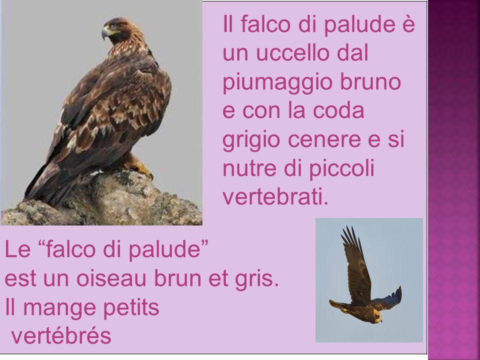 Le falco di palude est un oiseau brun et gris.