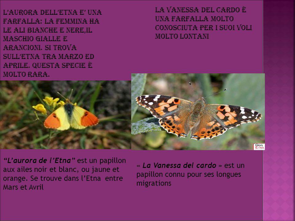 L'Aurora dell'Etna E' una farfalla: la femmina ha le ali bianche e nere,il maschio gialle e arancioni.