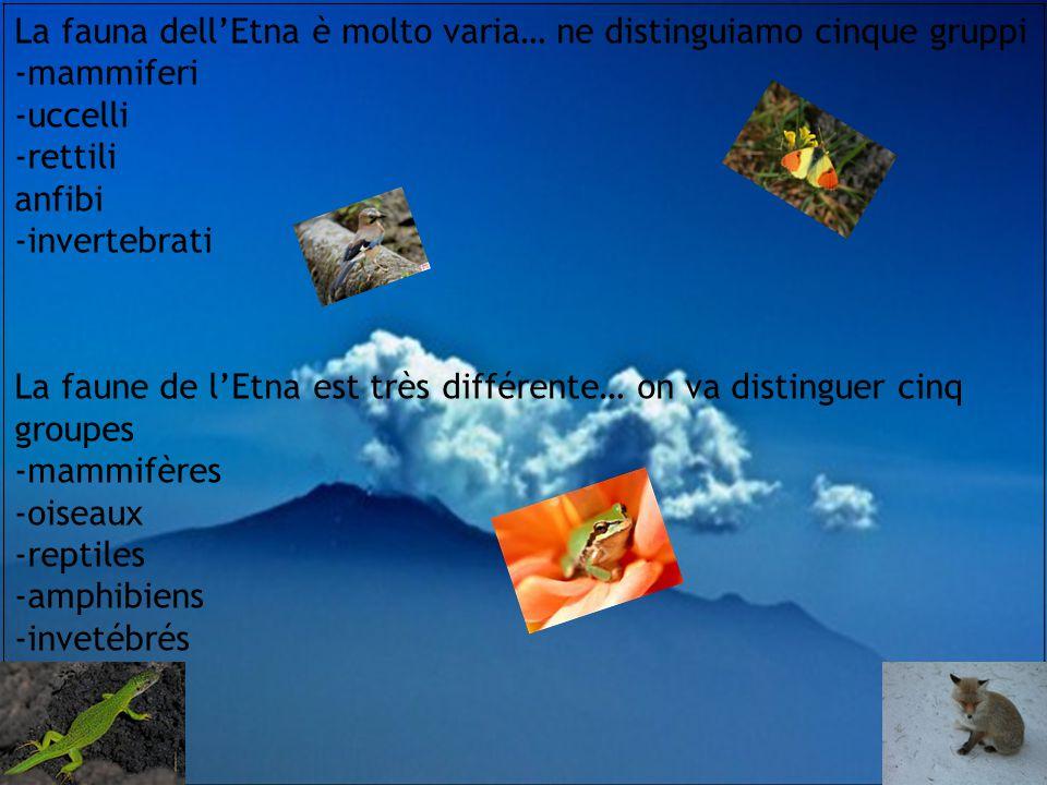 La fauna dell'Etna è molto varia… ne distinguiamo cinque gruppi -mammiferi -uccelli -rettili anfibi -invertebrati La faune de l'Etna est très différente… on va distinguer cinq groupes -mammifères -oiseaux -reptiles -amphibiens -invetébrés
