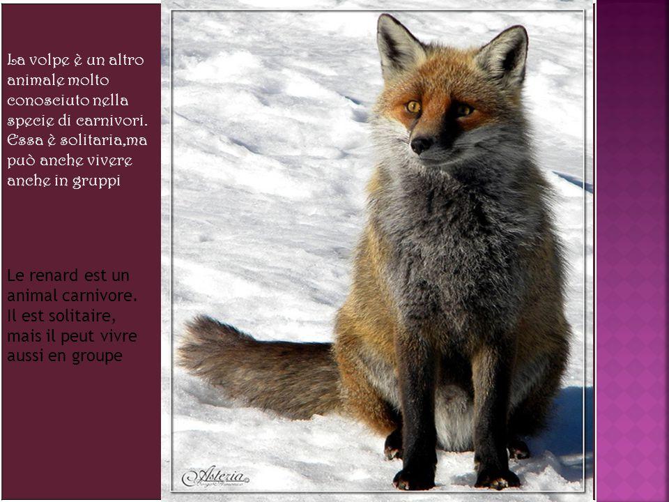 La volpe è un altro animale molto conosciuto nella specie di carnivori.