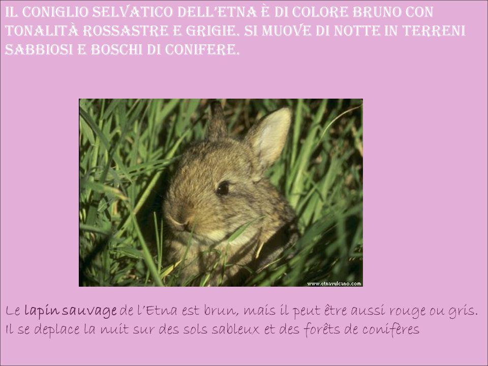 Il coniglio selvatico dell'Etna è di colore bruno con tonalità rossastre e grigie.
