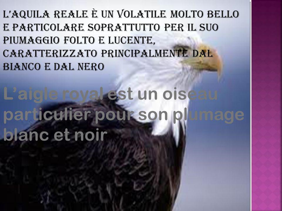L'aquila reale è un volatile molto bello e particolare soprattutto per il suo piumaggio folto e lucente, caratterizzato principalmente dal bianco e dal nero L'aigle royal est un oiseau particulier pour son plumage blanc et noir