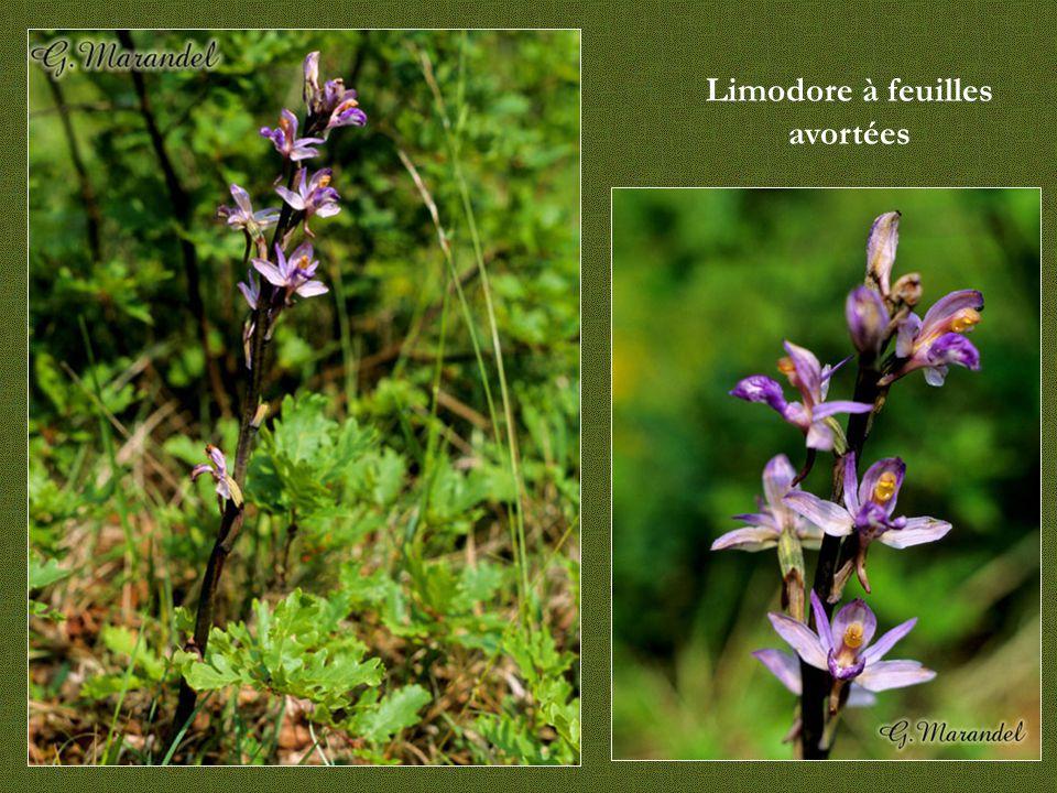 Autres orchidées - Limodore - Listère - Néottie-nid-d'oiseaux - Epipactis rouge sombre