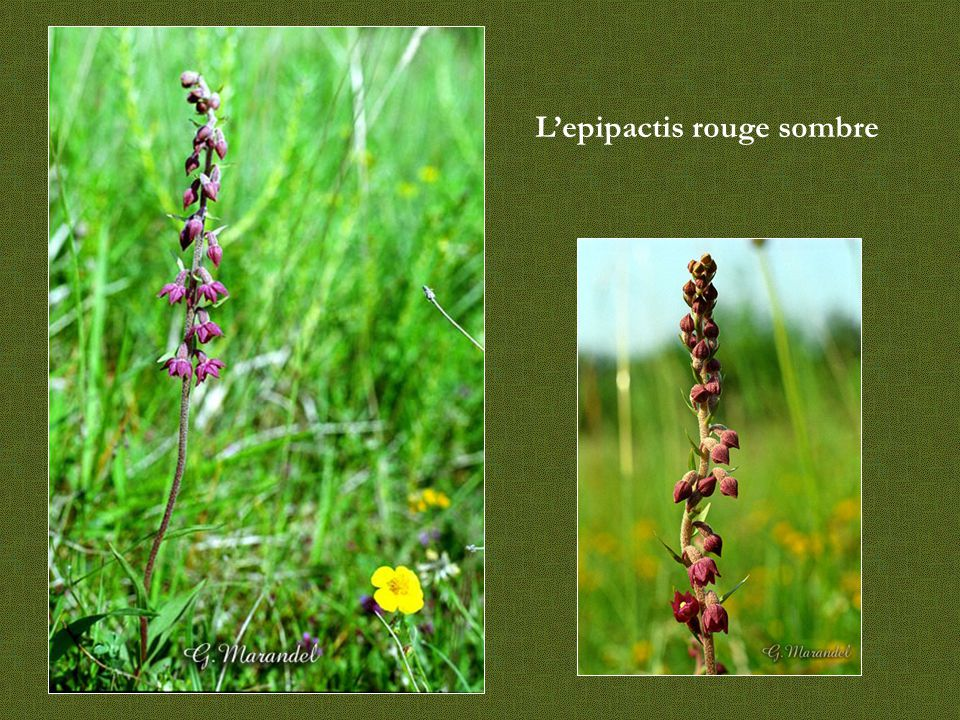 Néottie nid d'oiseau C'est une plante vivace sans chlorophylle dont la taille peut varier de 15 à 40 cm