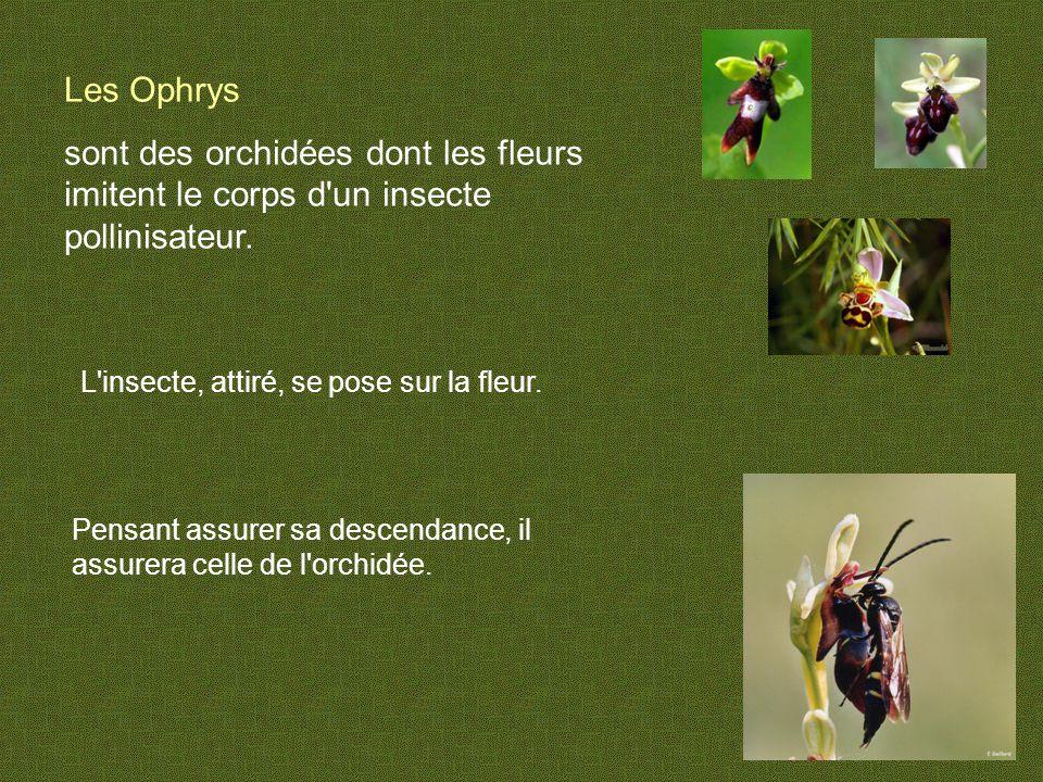 Les Ophrys sont des orchidées dont les fleurs imitent le corps d un insecte pollinisateur.