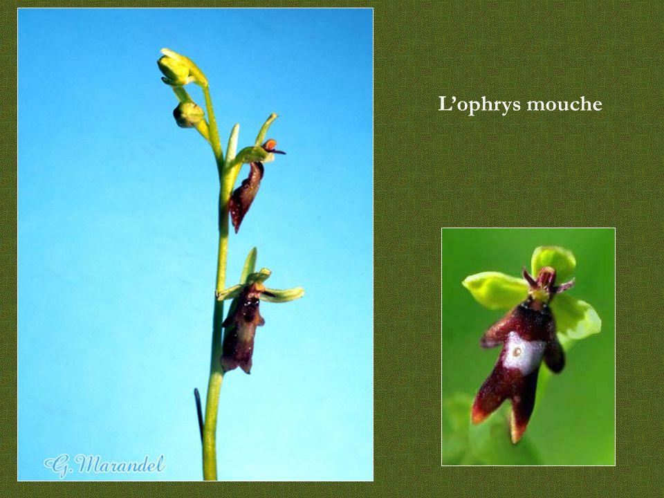 Les Ophrys sont des orchidées dont les fleurs imitent le corps d'un insecte pollinisateur. L'insecte, attiré, se pose sur la fleur. Pensant assurer sa