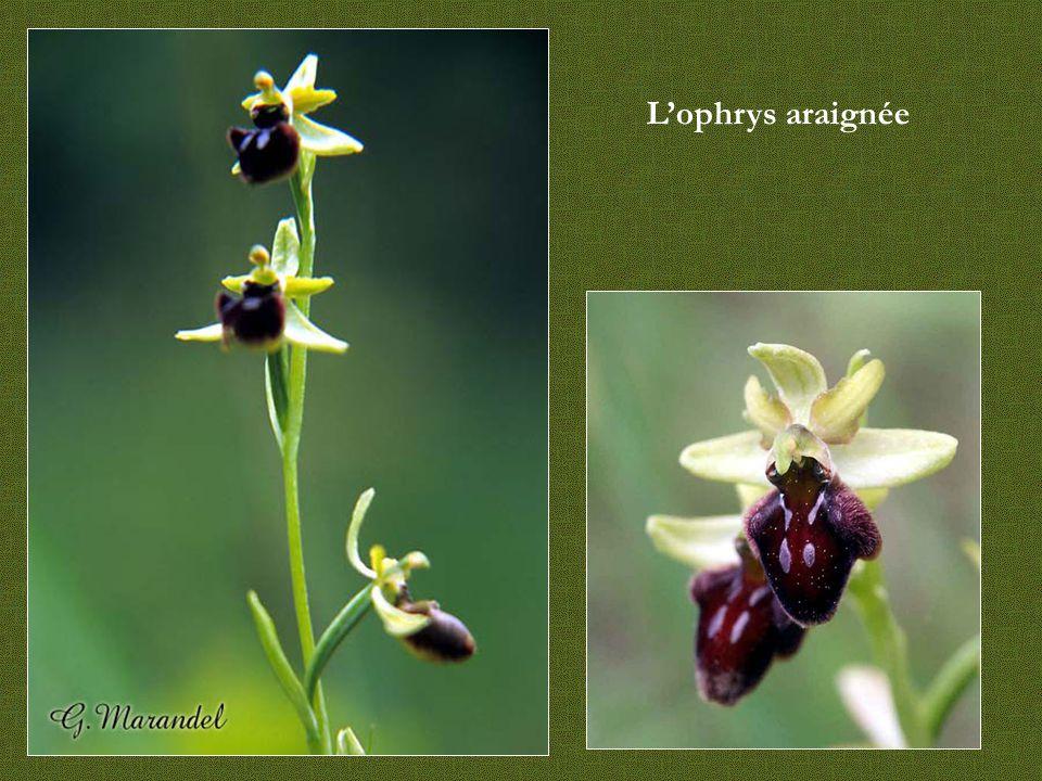 Autres orchidées - Limodore - Listère - Néottie-nid-d oiseaux - Epipactis rouge sombre
