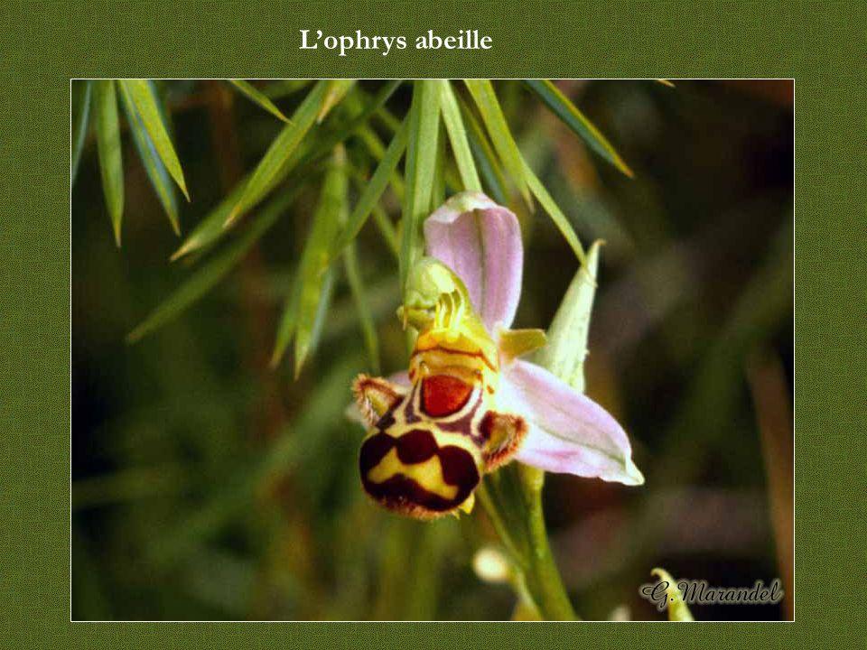 L'ophrys araignée