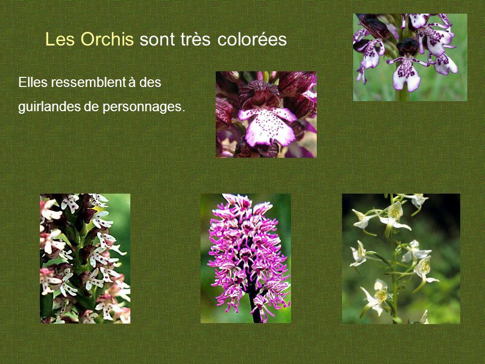 Les Orchis sont très colorées Elles ressemblent à des guirlandes de personnages.