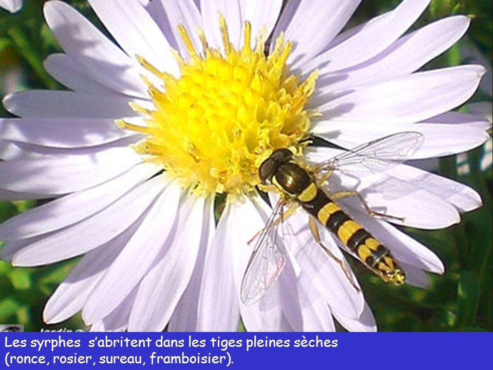 Tiges creuses sèches (graminée, bambou, roseau, vieux tuteurs, etc.) Refuge pour les osmies, les abeilles, les guêpes et les syrphes.