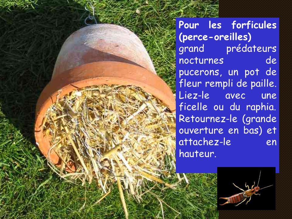 Les pemphrédons : Ces gros consommateurs de pucerons sont ainsi une aide précieuse pour les jardiniers naturels.
