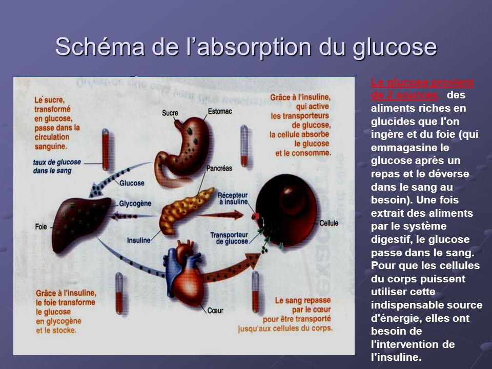 Schéma de l'absorption du glucose Le glucose provient de 2 sources : des aliments riches en glucides que l'on ingère et du foie (qui emmagasine le glu