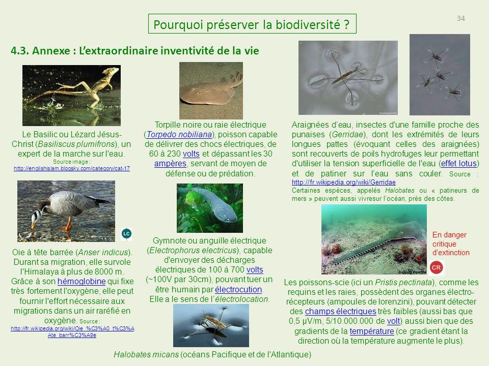 34 Pourquoi préserver la biodiversité ? 4.3. Annexe : L'extraordinaire inventivité de la vie Le Basilic ou Lézard Jésus- Christ (Basiliscus plumifrons