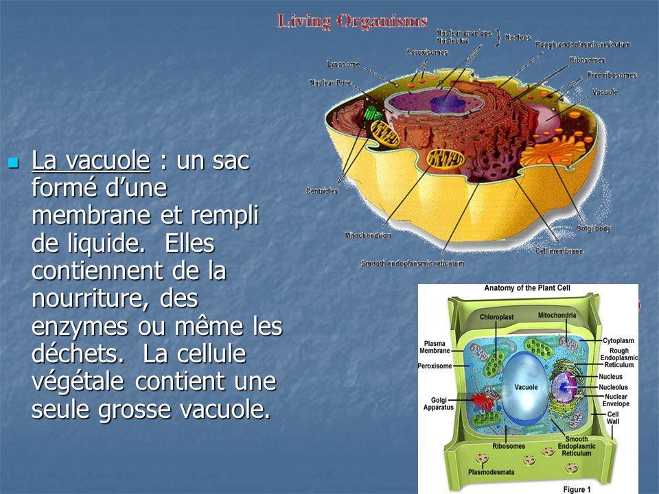 La vacuole : un sac formé d'une membrane et rempli de liquide.