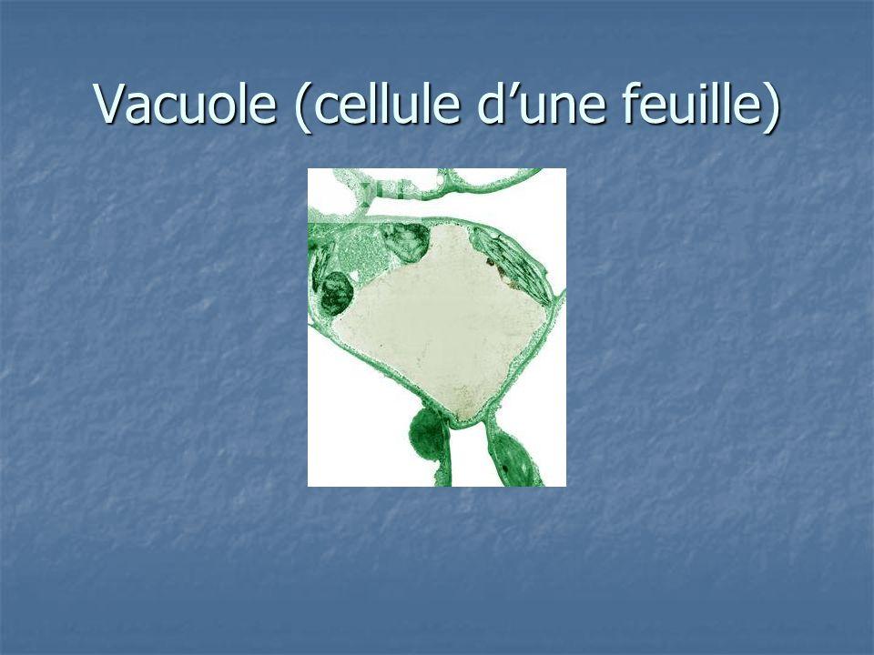 Vacuole (cellule d'une feuille)