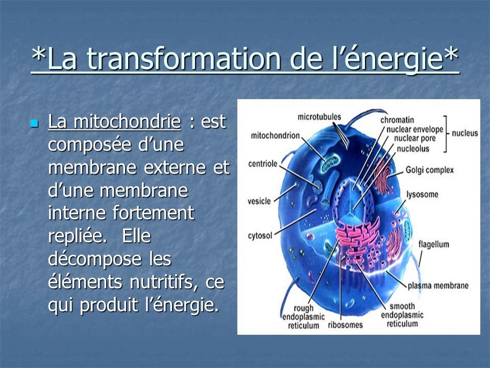 *La transformation de l'énergie* La mitochondrie : est composée d'une membrane externe et d'une membrane interne fortement repliée.