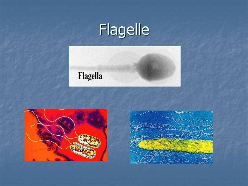 Flagelle