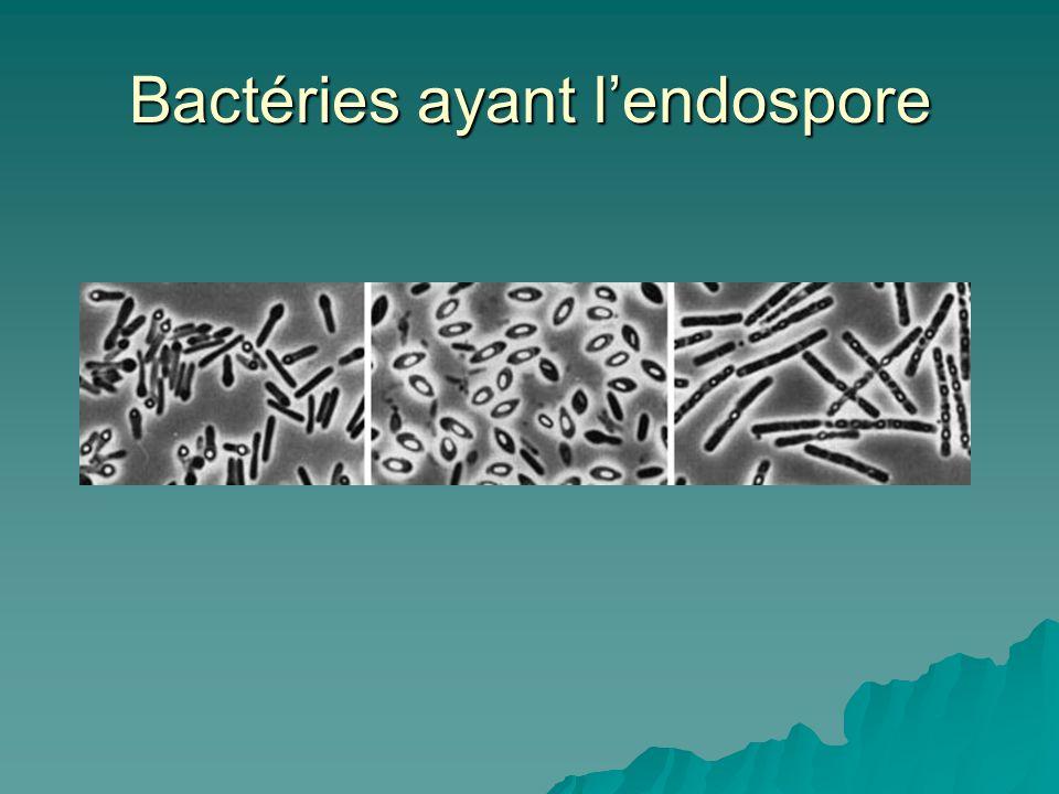Bactéries ayant l'endospore