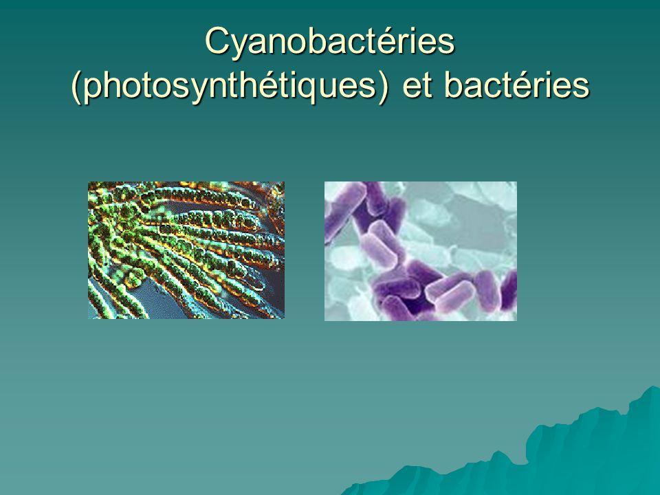 Cyanobactéries (photosynthétiques) et bactéries