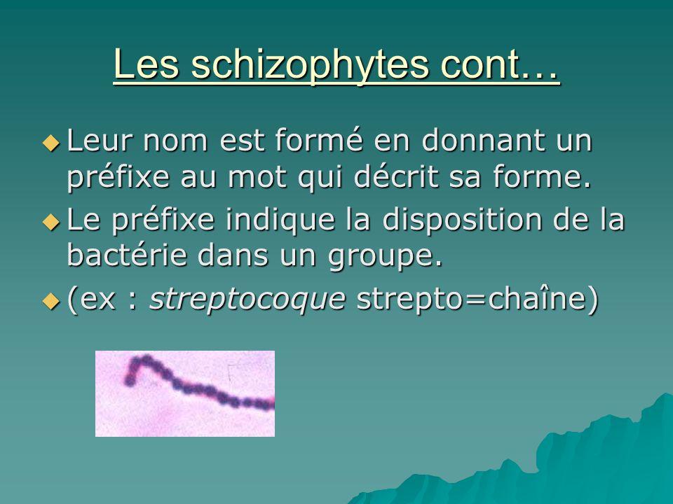 Les schizophytes cont…  Leur nom est formé en donnant un préfixe au mot qui décrit sa forme.  Le préfixe indique la disposition de la bactérie dans