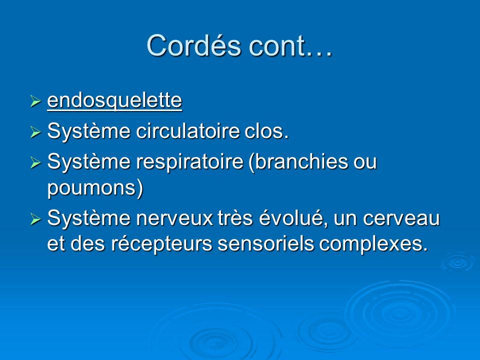 Cordés cont…  endosquelette  Système circulatoire clos.