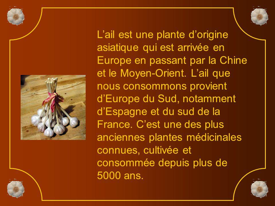 L'ail est une plante d'origine asiatique qui est arrivée en Europe en passant par la Chine et le Moyen-Orient.