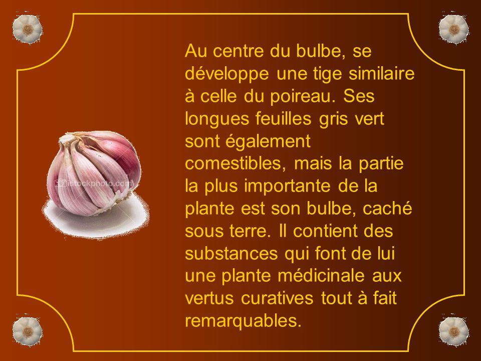 L'ail fait partie de la même famille que l'oignon, le poireau, l'échalote ou la ciboulette.