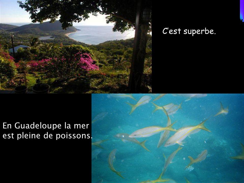 En Guadeloupe la mer est pleine de poissons. C'est superbe.