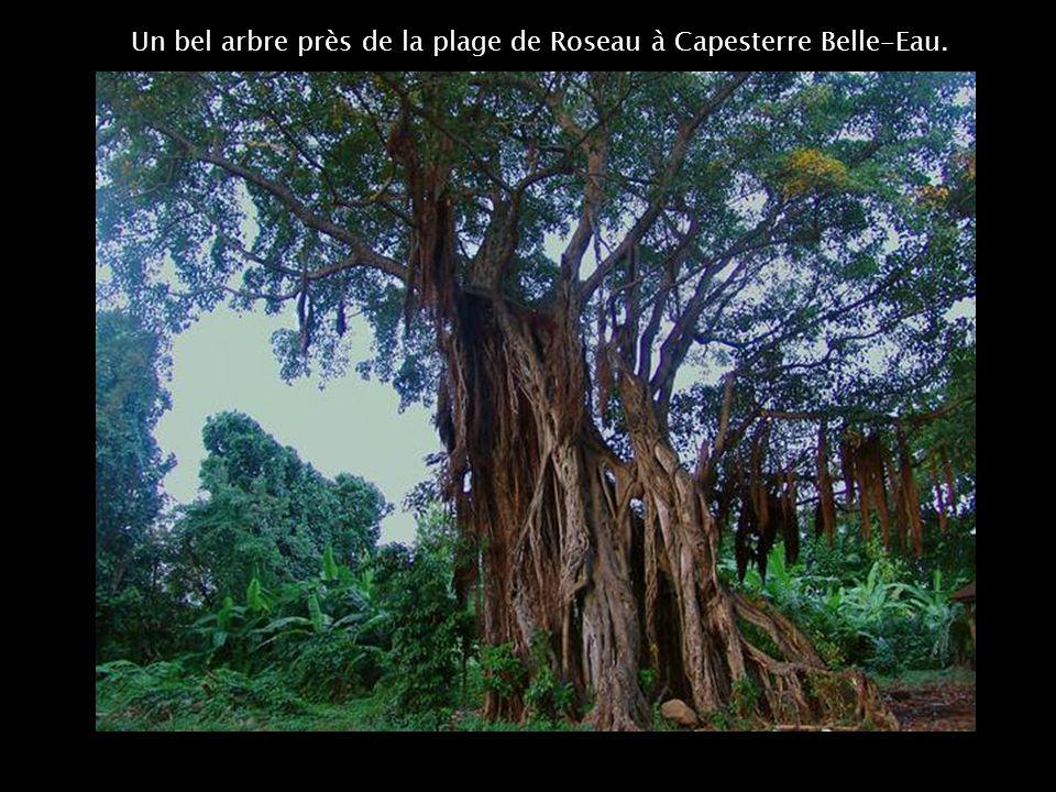 Un bel arbre près de la plage de Roseau à Capesterre Belle-Eau.