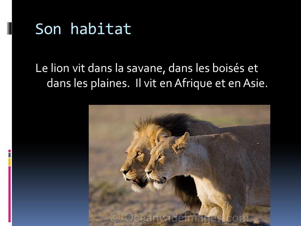Son habitat Le lion vit dans la savane, dans les boisés et dans les plaines. Il vit en Afrique et en Asie.