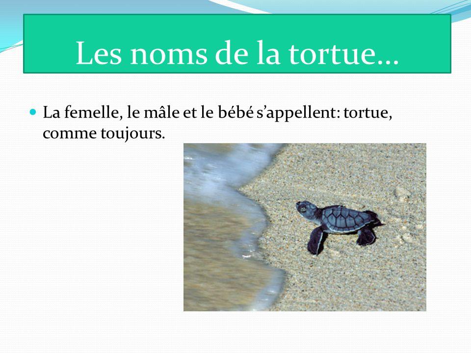 Les noms de la tortue… La femelle, le mâle et le bébé s'appellent: tortue, comme toujours.