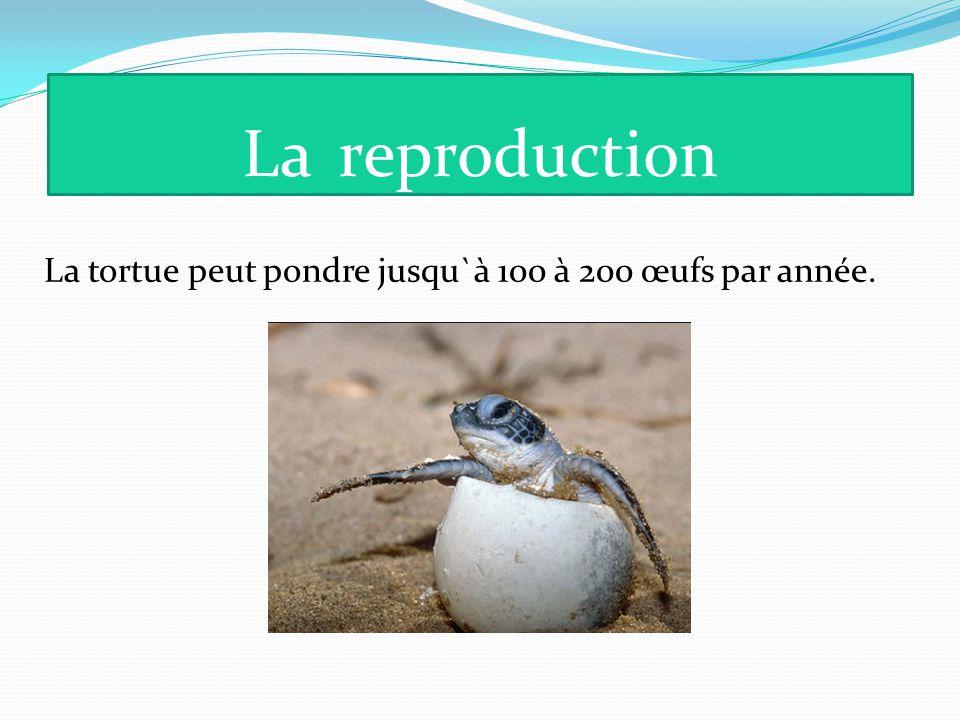 Lareproduction La tortue peut pondre jusqu`à 100 à 200 œufs par année.