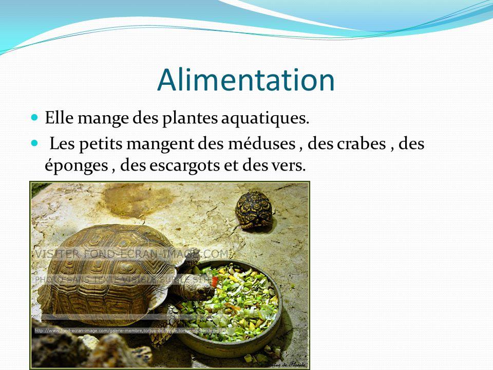 Alimentation Elle mange des plantes aquatiques.