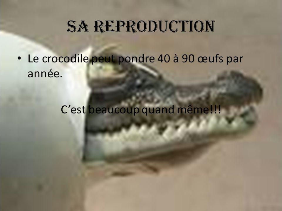 Sa reproduction Le crocodile peut pondre 40 à 90 œufs par année. C'est beaucoup quand même!!!
